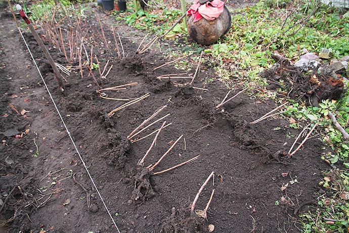 Planterne er klar til at blive gravet ned i bedet.