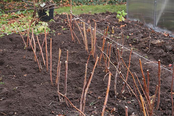 De nye planter er kommet i jorden - nu skal de bare lige vandes til.