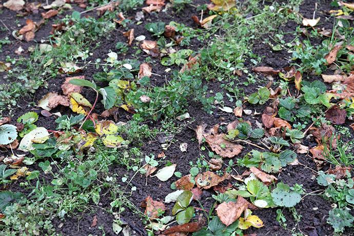 Et luget jordbærbed med jordkløver mellem rækkerne. Det var her fuglegræsset kom fra.