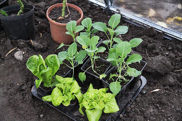 Det bedste er de spidskålplanter, som jeg har plantet i potter, da jeg udplantede på friland. Salatplanterne er gravet op ude i haven.