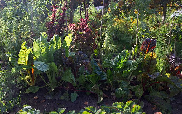 Smukke bladbeder og salat på vej i blomst.