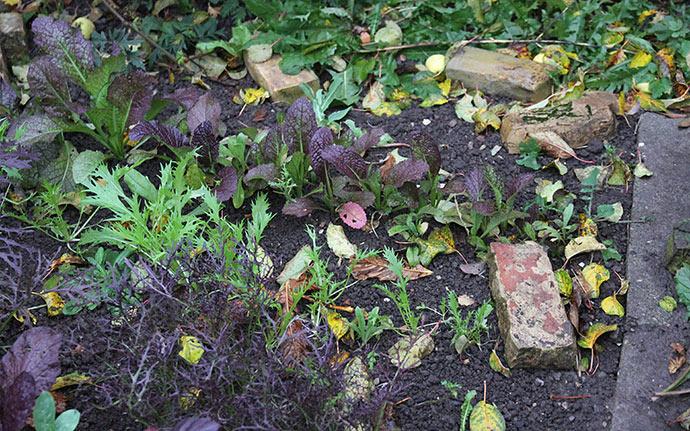 Men der er nogle mindre planter, hvor de høje rosenkål her skygget.