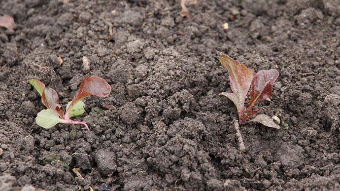 Rød egebladet salat i drivtunnel. Planterne på friland har klaret frosten uden skader - og ingen afdækning.