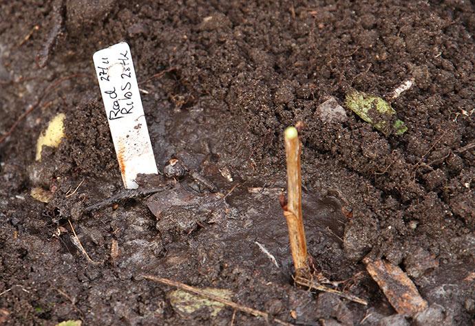 Der er vandet, så der er god jordkontakt til stiklingen. Nu skal der dækkes lidt løst jord ind omkring stiklingen, så kun to knopper er over jordniveau.