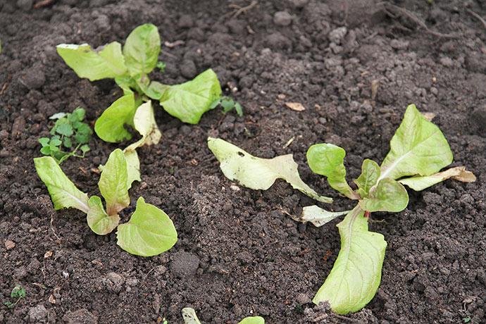 De plantede May King vokser med nye blade på bekostning af ældre blade.