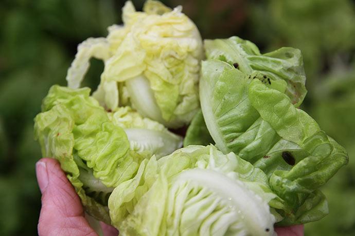 Lidt salat fra det frostskadede bed.