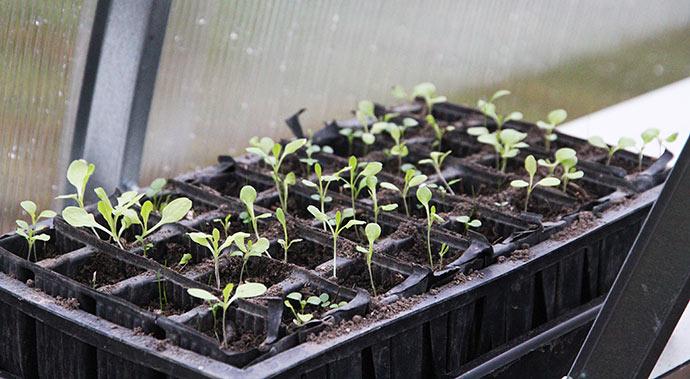Små salatplanter, som jeg har forkultiveret. Måske kan de overvintre.