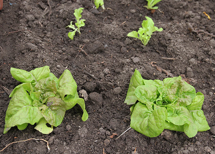 Salat i drivtunnel.