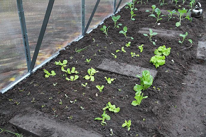 Salatplanter til overvintring i drivtunnel.