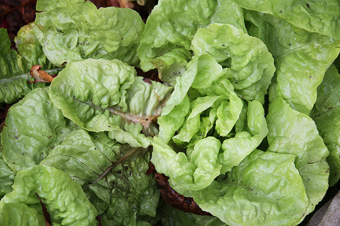 Råd i salatblade.