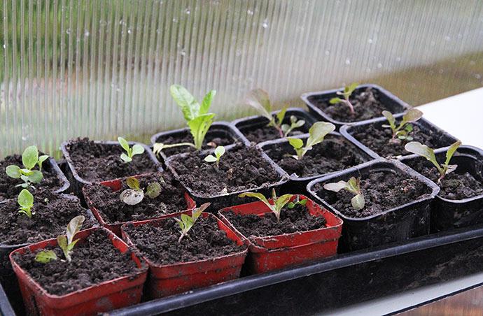 Selvsåede salatplanter hentet ude i haven. De seks planter til højre er hentet for en snes dage siden, og de vokser nu. De andre er plantet i går.