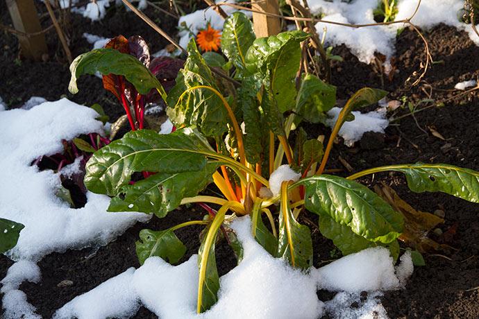 Bladbederne klarer let frost og sne.