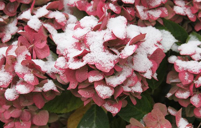 Sne på hortensiablomsterne.