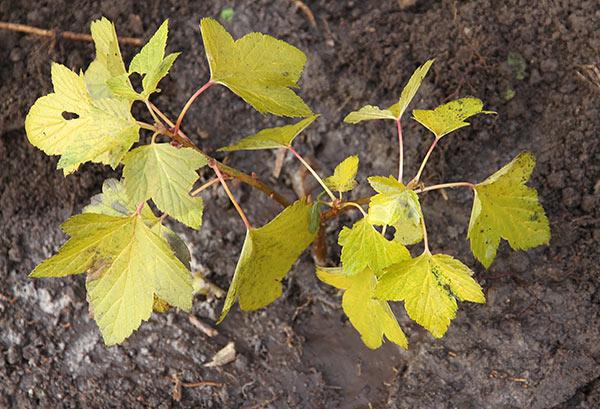 Planten er kommet i jorden og jorden er blevet vandet, så rødderne får god rodkontakt.