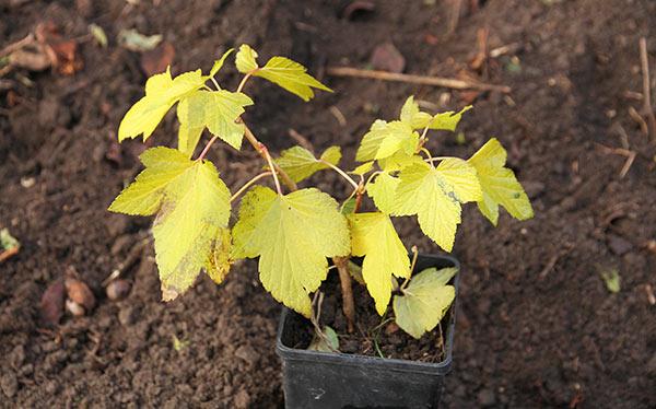 Fin lille solbærplante med smukke gule efterårsblade.