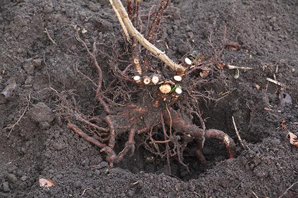 Der er mange gode rødder på stikkelsbærbusken, og der er klippet en masse gamle grene af helt ved basis. Hullet skal lige graves en del større.