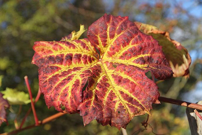 Drueblade med efterårsfarve.