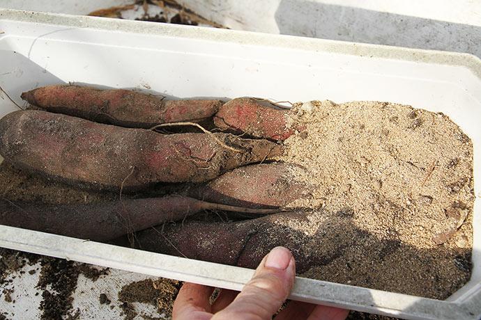 De høstede yacon knolde lægges i tørt sand til opbevaring et frostfrit sted.