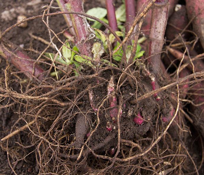 Planten med de små røde vækstknolde, som skyder næste forår.
