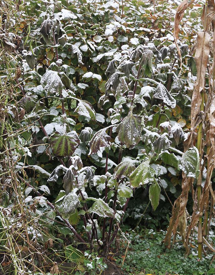 Yacon planten var blevet en stor og kraftig plante, og den har blomstret.
