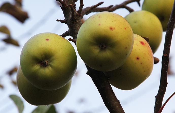 Mine selvsåede æbler synes jeg ligner Golden Delicious en hel del.