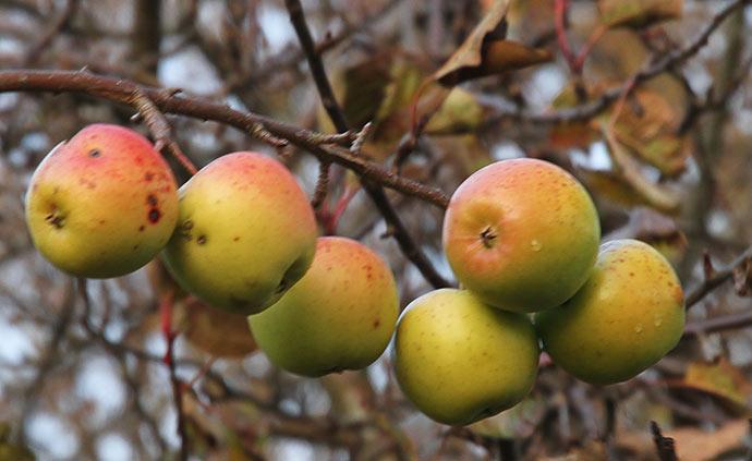 Lidt mere modne æbler på denne gren.