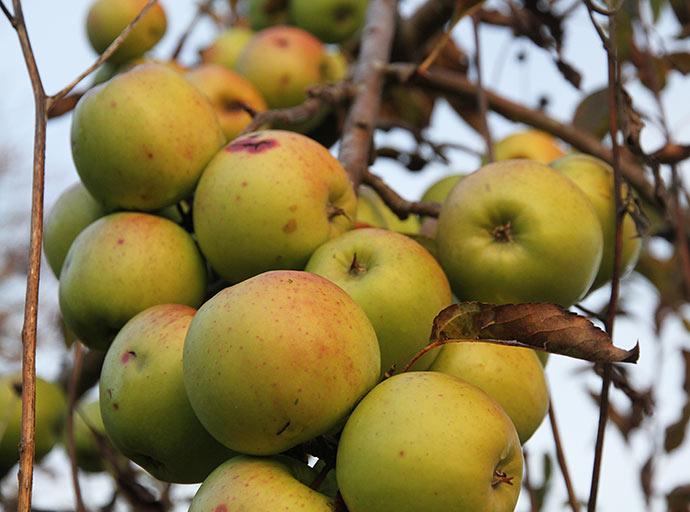 Der er rigtig mange æbler på træet.