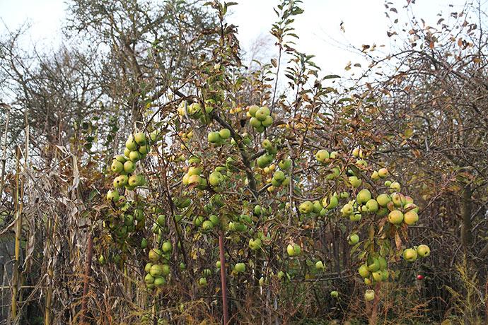 Æbletræet med store æbler 1. december.