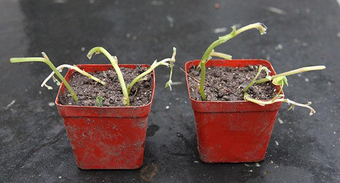 Stikllingerne er sat i potter - gad vide om de kan sætte rødder og blade.