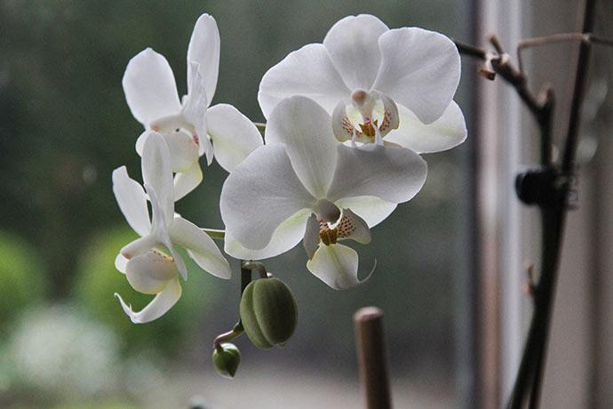 Blomsterne må blive en af mine orkideer, som blomstrer flittigt her om vinteren.