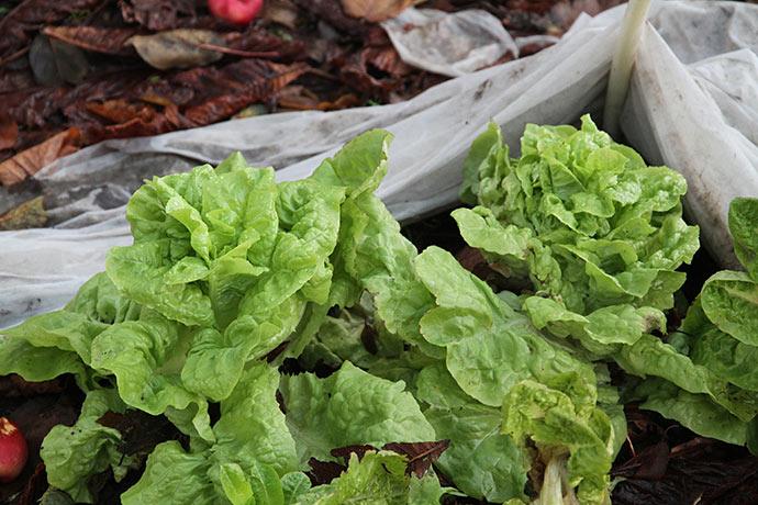 Flotte salatplanter - de nederste blade kan dog ikke bruges, men de øverste er fine.