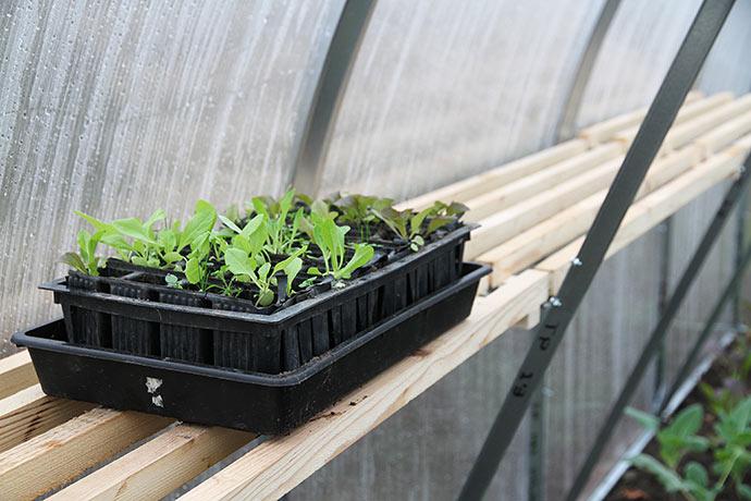 Salat i rootrainer i drivhuset i december.