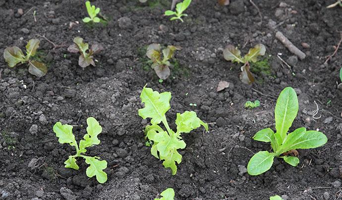Flere små salatplanter, der skal overvintres i drivtunnelen.