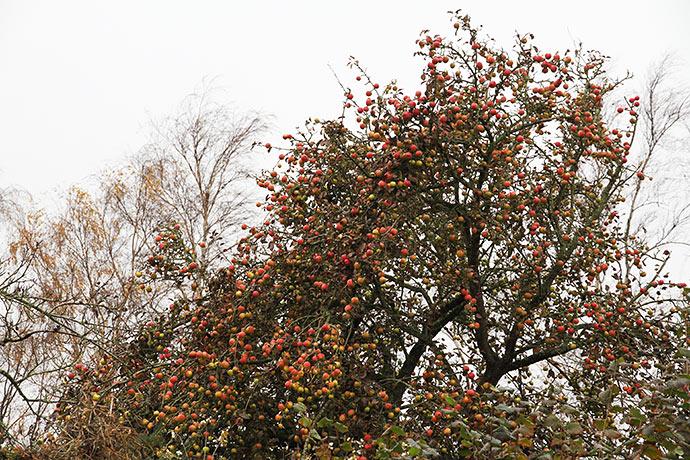 Naboens træ med længesiddende æbler - foto fra 16.november. Nu er der kun ca. de halve tilbage.