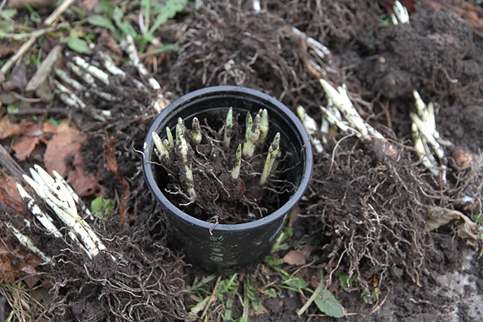 Potning af vintergækløg til drivning først i december.