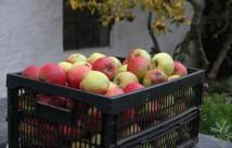 Jonagold æblerne var i år ekstra røde allerede, da de blev høstet.