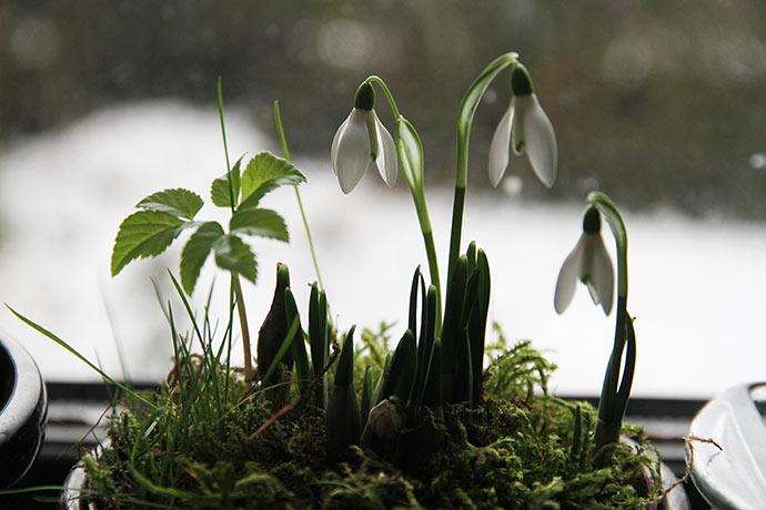 En potte med forår i kontrast til sneen udenfor.