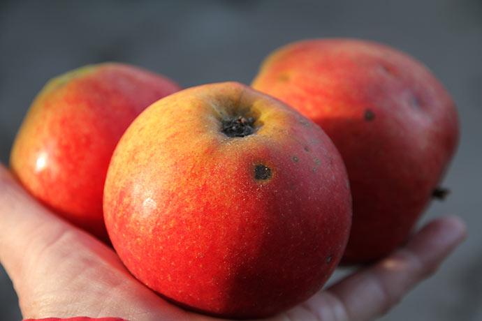 Flotte Jonagold æbler sidst i januar.
