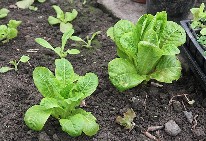 Et par store Little Gem salatplanter, som er prøve på, om jeg næste år skal satse på at have så store planter i drivtunnelen.