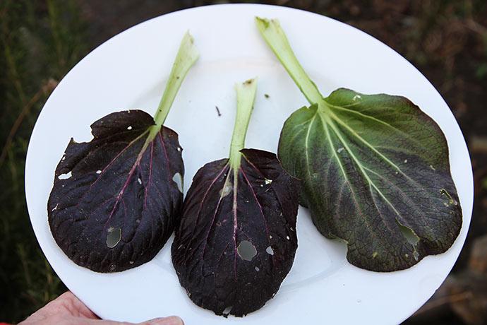 Pak choi bladene på friland har huller i bladene .