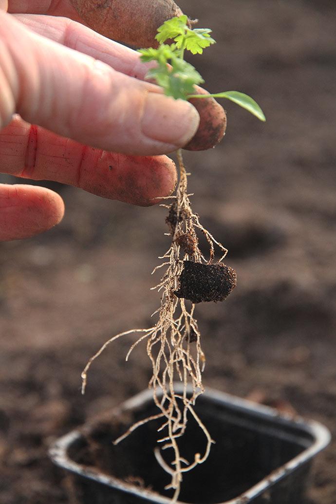 Flotte lange rødder, som kunne plantes langt ned i jorden.