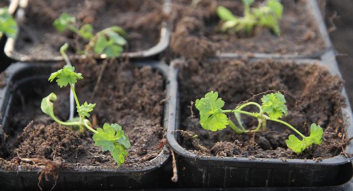 De sidste 11 persilleplanter blev planter i 6 cm potter, så de kan plantes ud på friland.