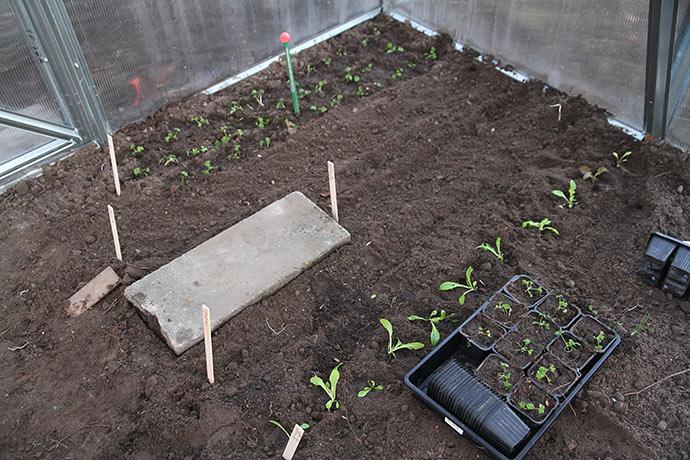 Der er plantet persilleplanter og salatplanter ud og derimellem er der sået gulerødder.