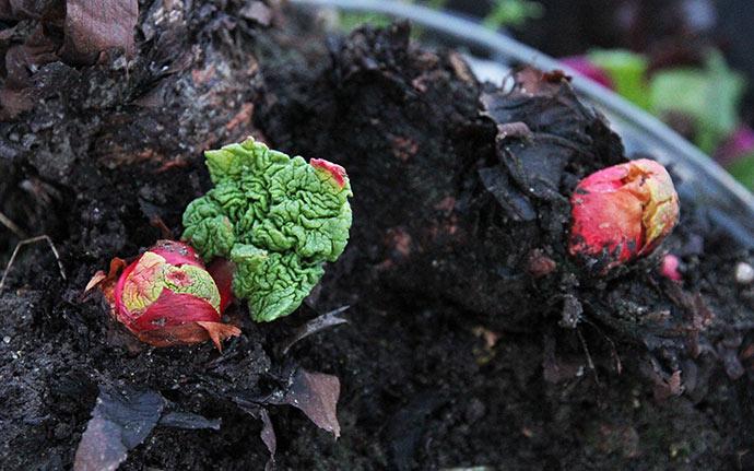 Rabarberplante i venteposition til foråret i drivtunnelen.