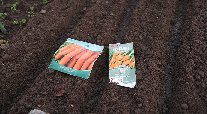 Jeg har sået 2 rækker med Naintease gulerødder og en halv række med resten af frøene fra posen med Royal Chantenay 3, som har en lille kort rod.
