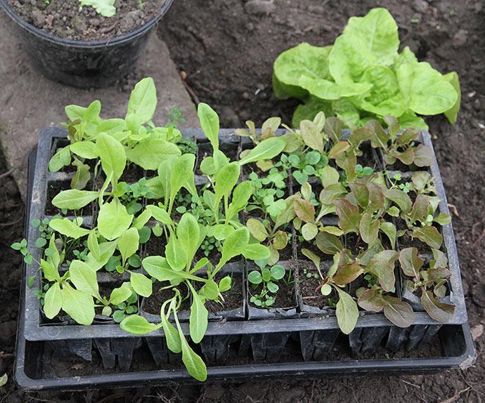 Små salatplanter i rootrainer. Måske skal jeg slå det hele ned i jorden.