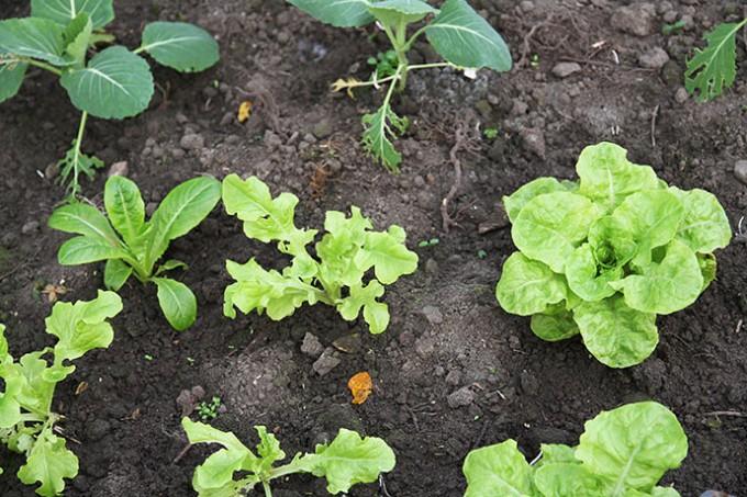 Der skal bare lige lidt mere dagslys til, så begynder salatplanterne at vokse.