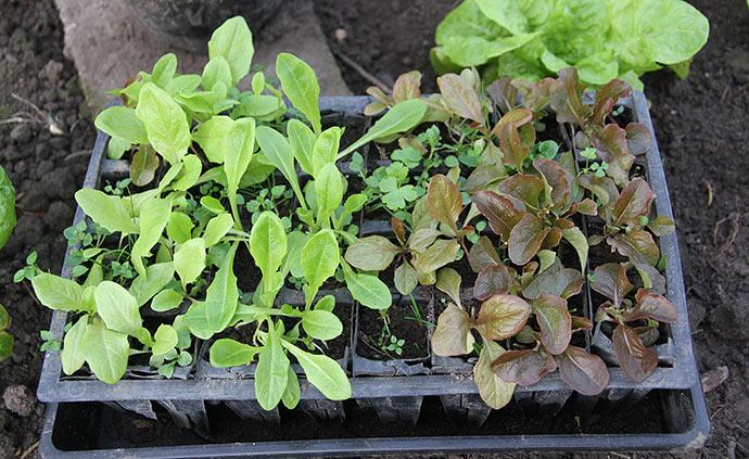 De små salatplanter vokser lidt, og de ser ret livskraftige ud. De skal nok give masser af salatblade i det tidlige forår.