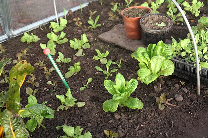 Salatplanter i drivtunnelen 4. januar. De vokser faktisk lidt.