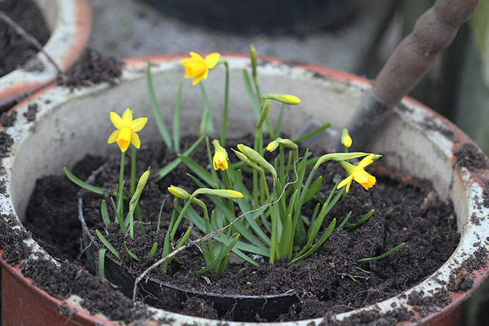 Om 14 dage regner jeg med at kunne plante minipåskeliljer i begyndende blomst ud i krukker.